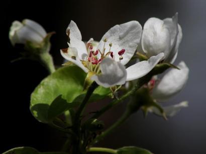 IMG_Birnenblüte
