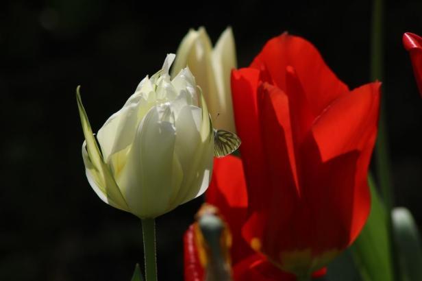 IMG_Tulpe rot weiß